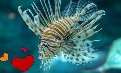 Valentine Day Fish